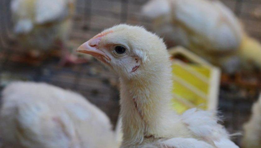 как быстрее похудеть в домашних условиях цыплят
